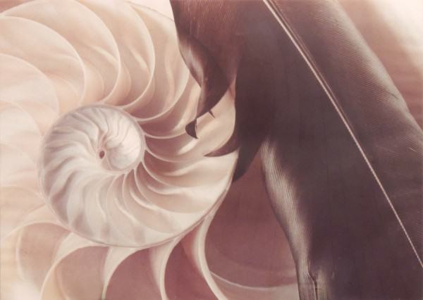 1997.013 | Murray Alcosser | FEATHER AND SHELL | color photograph | 30 x 40"