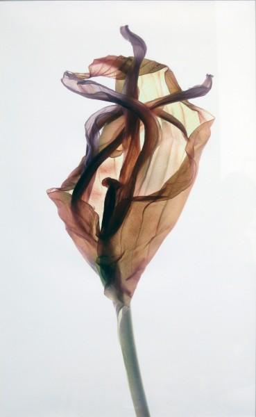 Julia K. McLemore | UNTITLED (HOSTA LEAF WRAP) | photograph | 2007