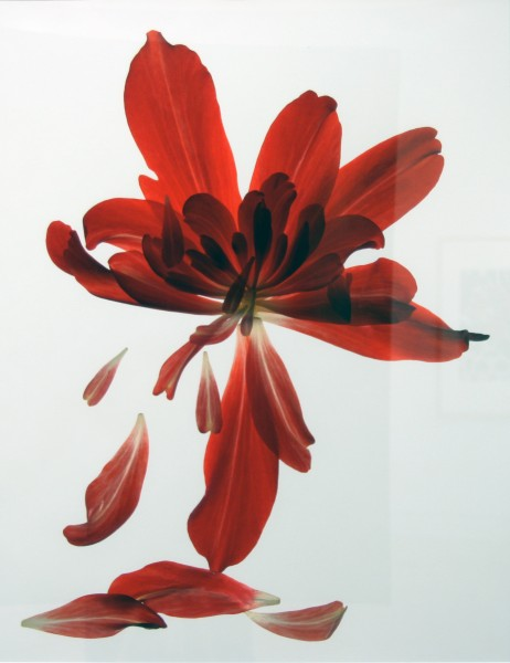 Julia K. McLemore | UNTITLED (BEGONIA ARRAY) | photograph | 2007