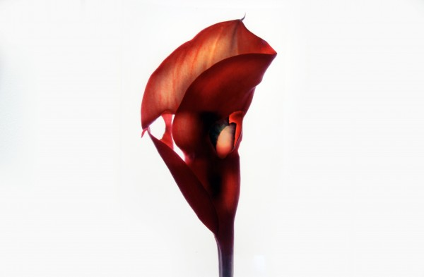 Julia K. McLemore | UNTITLED (CALLA LILY) | photograph | 2007