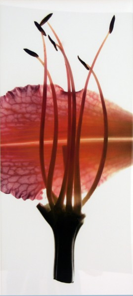 Julia K. McLemore | UNTITLED (LILY PEACH) | photograph | 2007